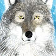 Grey wolf2